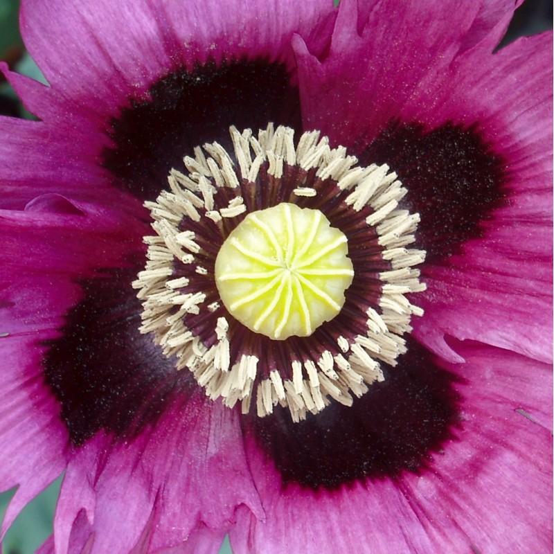 African Violet Incense - flower