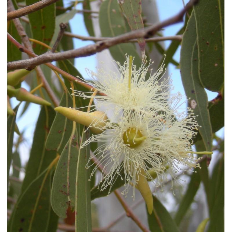 fleur Eucalyptus