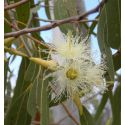 Incienso Eucalyptus