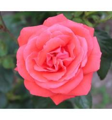 Incienso Rosa