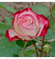 Incensio Rosa de Té