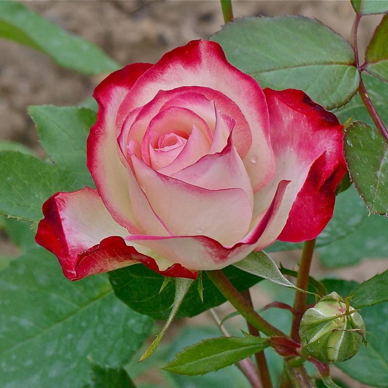 Encens Tea Rose