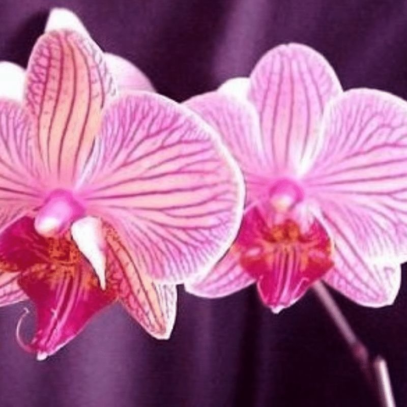 Encens Orchidée