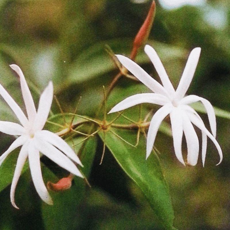 Purity Jasmine Incense
