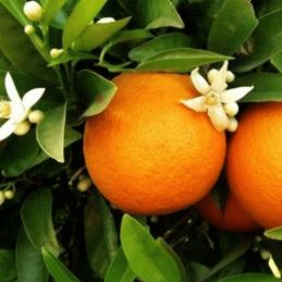 Incienso Flor de Naranja