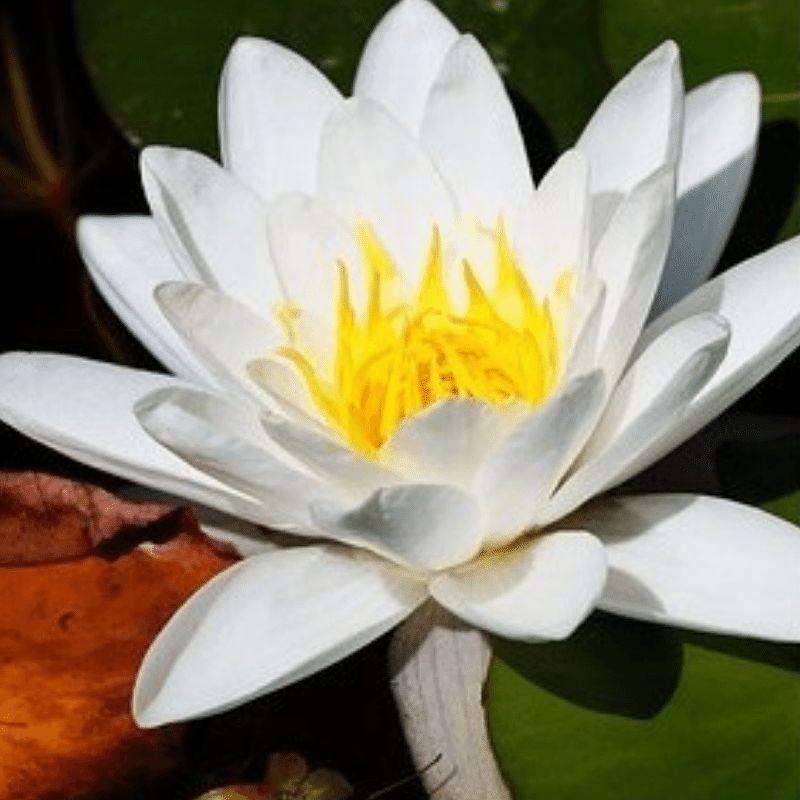 White Lotus Incense