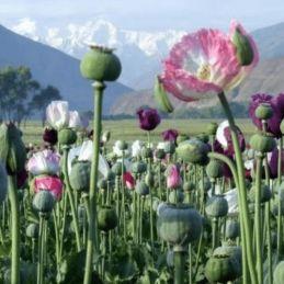 Encens Opium