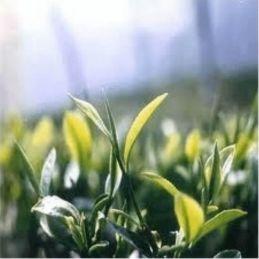 Green Tea Incense