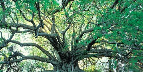 Les banians, ces arbres sacrés
